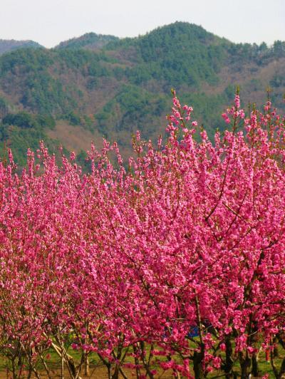 御坂みちウォークc 金桜園=花モモは華麗! ☆丹精込めた花木の品種多く