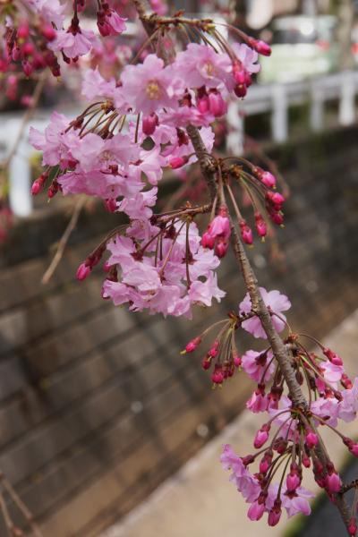 2011小手指の枝垂桜と春の花 その2 Shidarezakura in Kotesashi