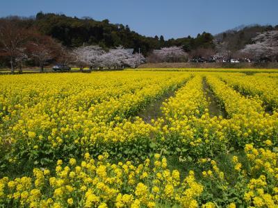 京田辺の国宝観音像、桜そして菜の花