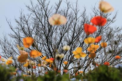 【大阪桜2011】 桜とポピーとチューリップと・・・ 「万博記念公園」