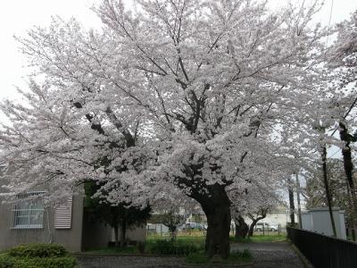 早朝ウォーキングで観桜・・・<その2> 北陽高校から久喜中学校・家庭裁判所久喜出張所のさくら