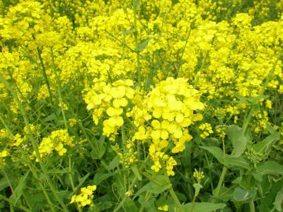 さくら~菜の花
