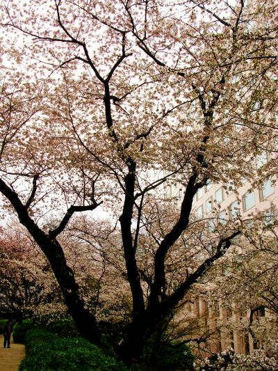 東京の桜c  高輪エリア=静寂のさくら=追憶 ☆邸宅跡の年輪を刻んで