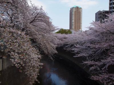 神田川の桜を愛でる 高田馬場 面影橋 まで