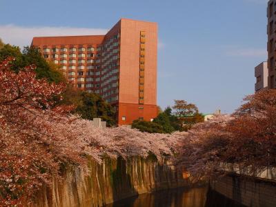 神田川の桜を愛でる 面影橋 椿山荘 まで