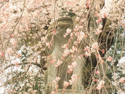 2011年 山口市の桜見物 一の坂川 瑠璃光寺 今八幡宮