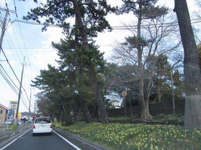 国道1号線 大磯の松並木の黄水仙