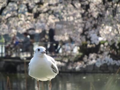 ああ無情、桜散り始めの上野公園