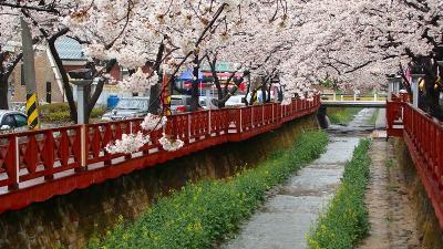 鎮海の桜観光・・・菜の花と桜が咲き乱れる余佐川 上巻