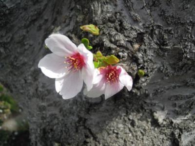 緊急投稿!?(^O^) わが街・越谷の春景色♪ 2011年版