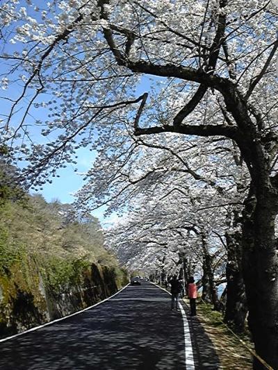 海津大崎の花見!琵琶湖沿いに咲き乱れる桜、桜、桜