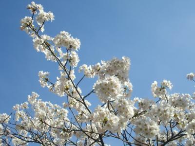 11/04 桜が咲き始めた♪@弥彦駅周辺@