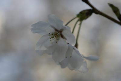 2011水戸周辺の桜と