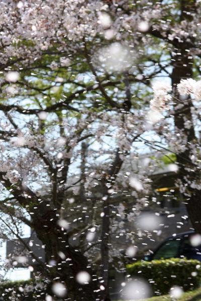京都を歩く(88) 洛北の春を彩る賀茂川沿いの桜のトンネル