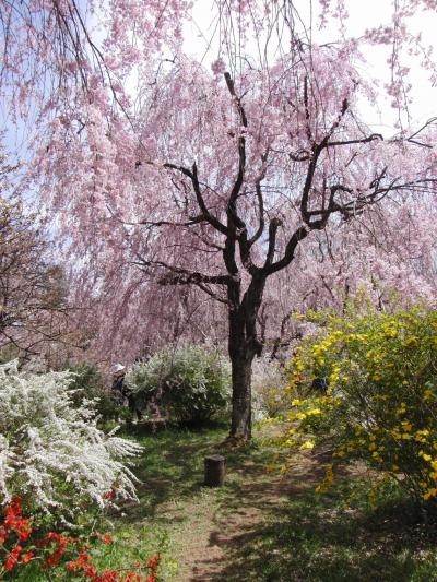 百花繚乱の桜に包まれ、桜の雲海を望む ~原谷苑・仁和寺~