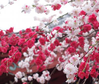 横浜金沢文庫にある称名寺の桜と源平枝垂れ桃、金沢八景にある龍華寺の御室桜 2011年4月