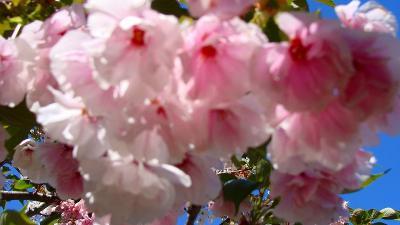 最福寺の枝垂れ桜