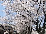 陶彩の道2011年桜