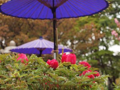 横浜は金沢八景近くの龍華寺の牡丹と藤 2011年4月