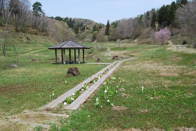 雪国植物園を訪ねる④水芭蕉、エンコウソウ、エチゴルリソウ