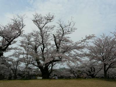 鶴岡うろちょろで桜見物