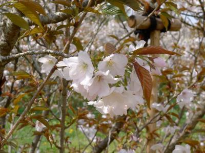4月の京都 (2)、御室桜、レストランナガタケ
