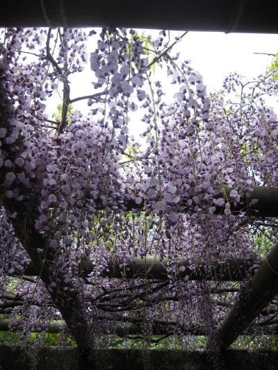 ビアンキFRETTA☆越谷 久伊豆神社の藤☆2011/04/30