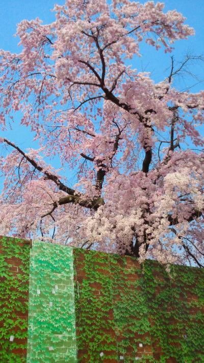 雄大な一本 満開の枝垂桜 ~京都岡崎平安荘跡~