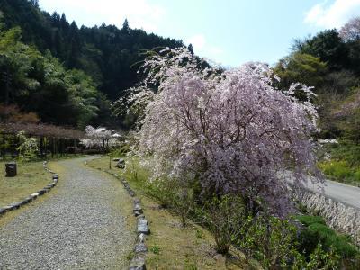 ★枝垂桜を観に「重源の郷」へ