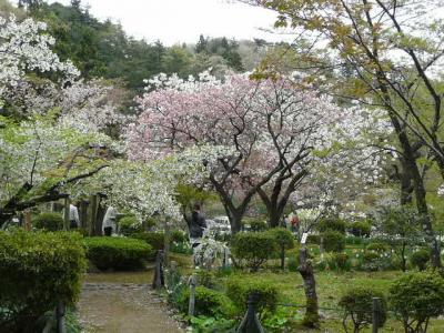 弥彦で遅咲きの桜探し