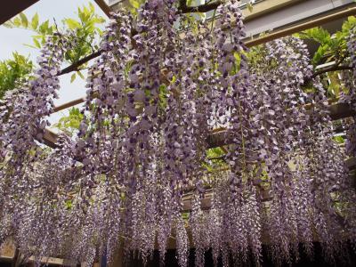 満開のノダフジの花を探しに大阪・福島区に
