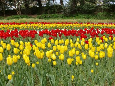 新潟まめ旅♪ チューリップの季節 寺尾中央公園