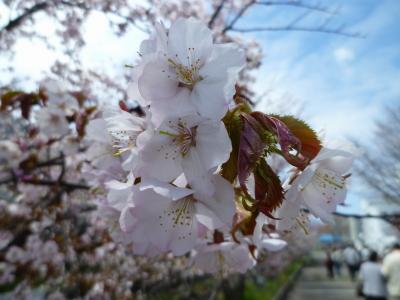 札幌・寒地土木研究所の千島桜が花開き(2011年)
