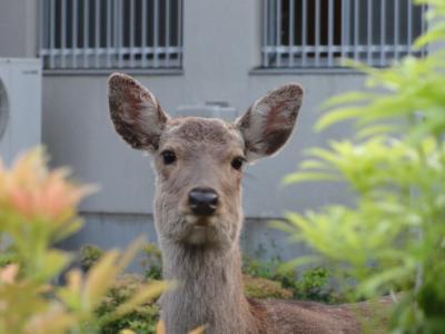 みかさ荘旅館(KKR奈良みかさ苑)奈良市-②  5月  2011年
