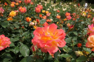靭(うつぼ)公園でバラを見ながらプラプラと