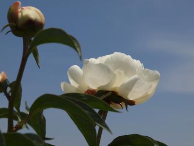 2011  深谷市 花園芍薬園  美の競演 ー上