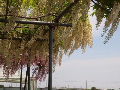 2011  深谷市 花園芍薬園  美の競演 ー下