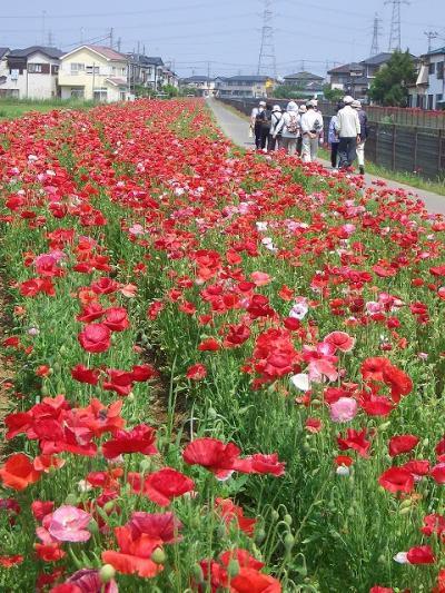 久喜市鷲宮の葛西用水沿いの2011ポピー・・・歩こう会で