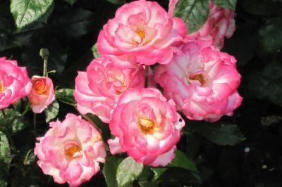 2011梅雨、庄内緑地公園の薔薇(1)フリージア、琴音、緑光、マリーナ、レディ・ローズ