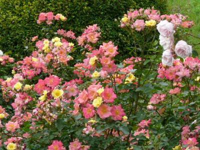 生田緑地のばら苑へ出かけて見ました