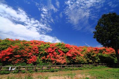 紅く染まる山…船窪のオンツツジ群落(国の天然記念物)