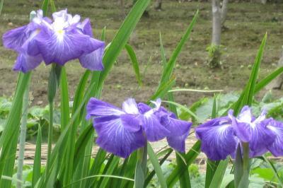 2011梅雨、性海寺の花菖蒲ほか(2完)花菖蒲、鉢植の紫陽花、ザクロ、岩鏡、キジバト
