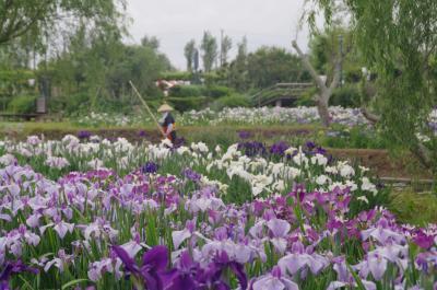 水郷佐原「水生植物園」の満開の菖蒲と小江戸佐原の街めぐり。ランチは「夢時庵」のフレンチで!