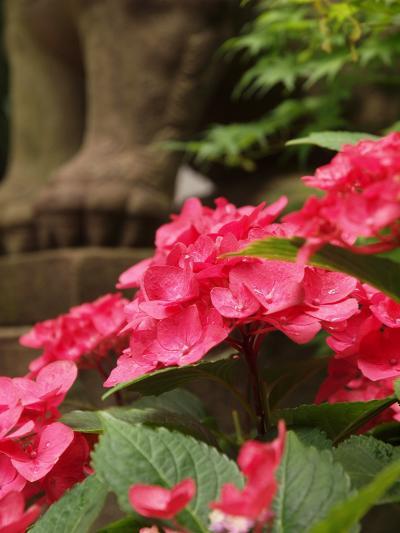 2011 文京区 あじさいまつり 白山神社 上