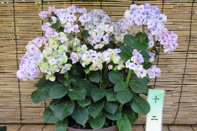 2011梅雨、なばなの里の紫陽花(9)ハワイアン・ブルー、スター・バースト、カシワバ・ハーモニー、LK49