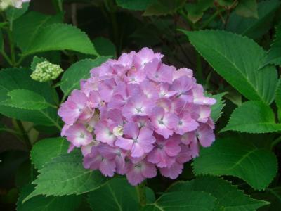 紫陽花を楽しむはずが・・・。バラ?