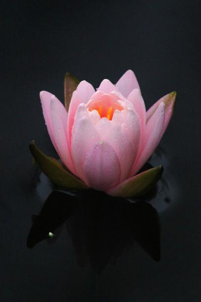 Solitary Journey [920] 濃い霧の中、水面に美しく咲くスイレン <標高693m極楽寺山、蛇の池&極楽寺>広島県廿日市市