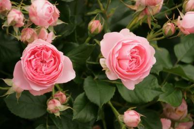 ぐるっとしまなみ訪問:薔薇の香りに魅せられて、よしうみばら公園