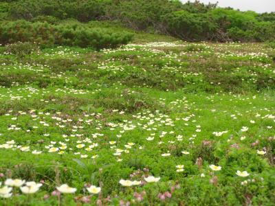 旭岳、お花畑満開(蝦夷梅雨明けの北海道3泊4日のとりあえず編)