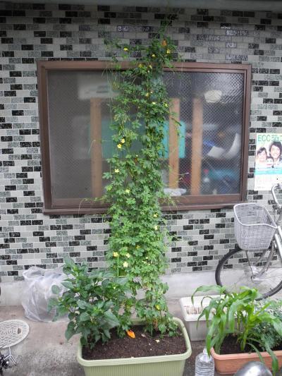 2011年07月 自宅のグリーンカーテンについて